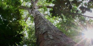 árvore da amazonia simbolizando a preservação da natureza